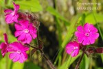 Lychnis dioica