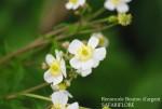 Ranunculus aconitifoliul