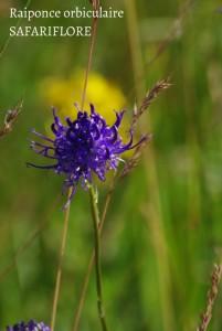 Pyteuma orbicularis