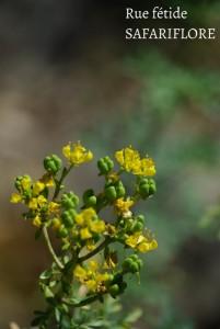 Ruta angustifolia