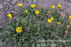 Leontodon montana