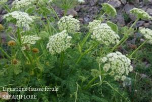 Ligusticum ferrulaceum