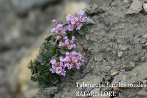 Noccaea rotondifolia