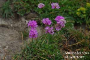 Arenaria alpina