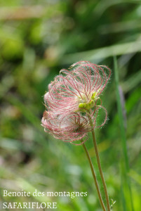Geum montanum