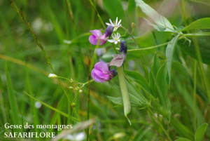 Lathyrus linifolius var montanus