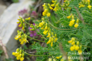 Phaca alpina