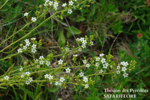 Thesium pyrenaicum