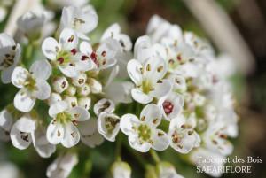 Noccaea caerulescens