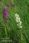 Orchis_male-massif_bicolore-fk