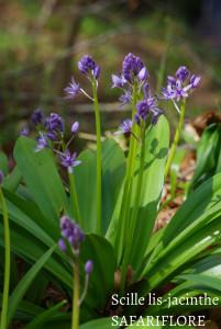 Scilla lilio-hyacinthus