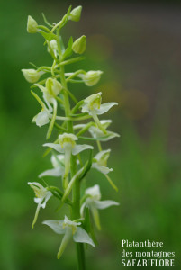 Platanthera chloranta