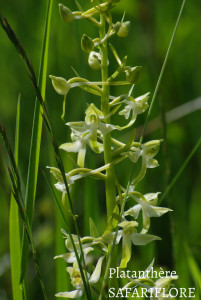 Platanthera-bifolia-fk