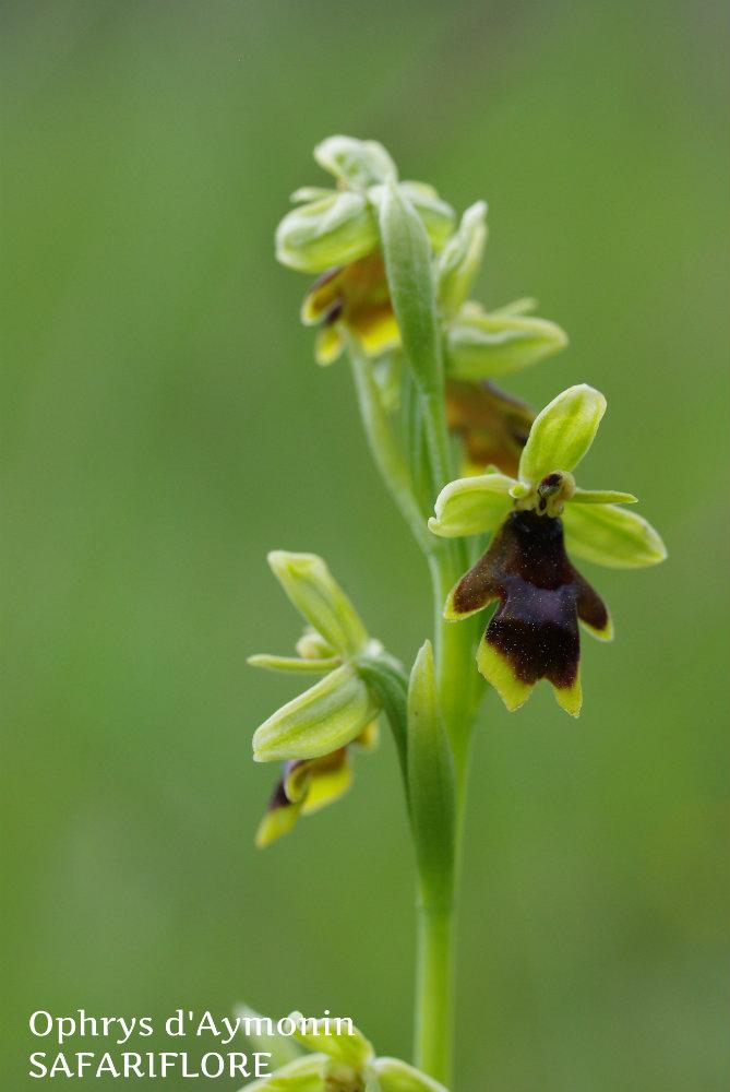 Ophrys aymonii