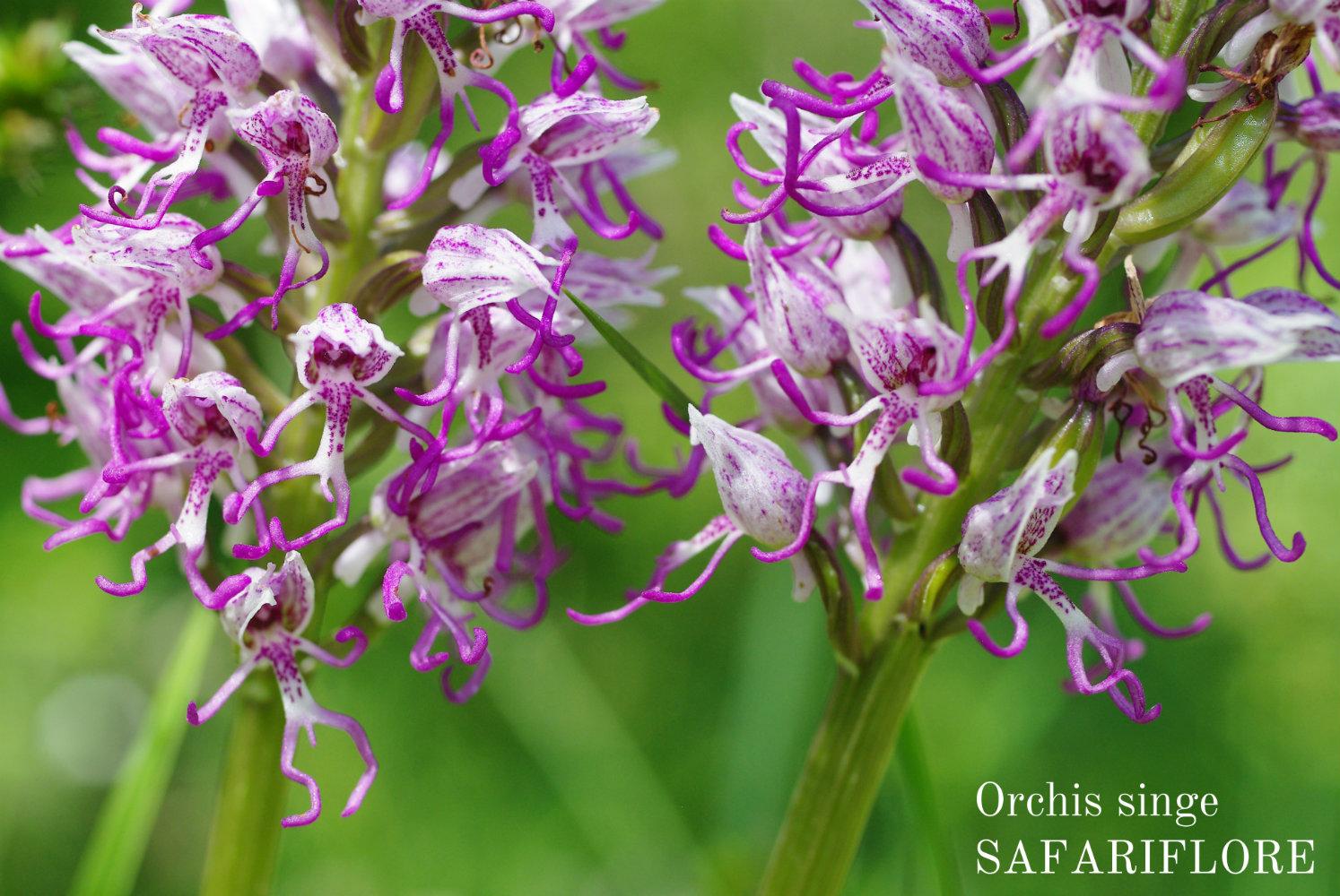 Orchis simia