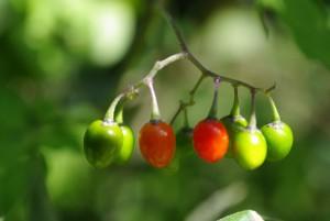 Solanum dulcamara