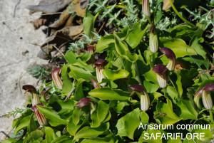 Arum arisarum
